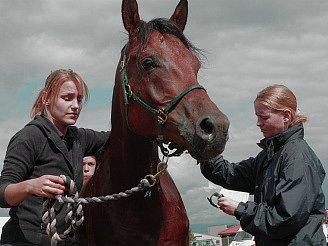 Příprava koně na vytrvalecký dostih.