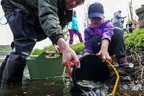 Vysazování ryb do řeky Bíliny