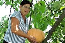 Dobromila Benešová Trnková musela za netradiční úrodou vylézt na střechu kůlny.