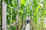 Vietnamec Nguyen Van Chi pěstuje na políčku v centru Litvínova kukuřici, zeleninu a byliny, které používá ve své malé restauraci naproti radnici a v domácí kuchyni