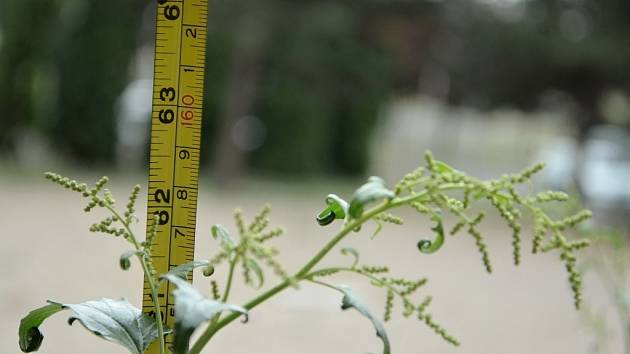 Parčík u radnice, kde bude po úpravě ploch opět kluziště. Teď tam roste plevel.