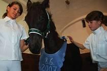 Tříměsíční hříbě fríského koně Waling.