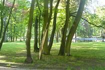 Oloupaný strom v Zámeckém parku.