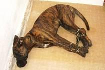Týraný pes.