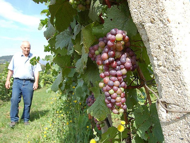 Ivan Váňa na své vinici.