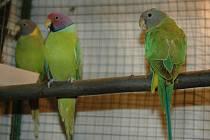 V Semilech vystavují stovky kusů exotického ptactva