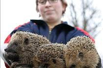 Jaro probudilo ježky.
