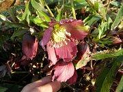 Květina čemeřice vykvétá již v zimě, třeba i pod sněhem.