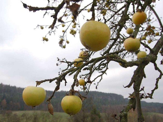Jablka, o která nikdo nestojí.