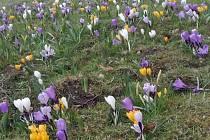 Před zámkem kvetou krokusy, vidět můžete ptačí vejce.