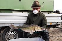 Rybáři plní svazové vody kapry, štikami či candáty