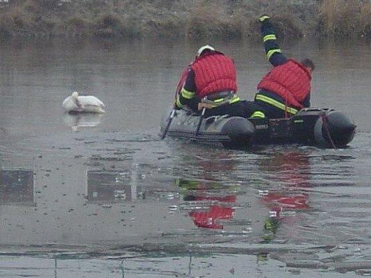 Hasiči zachraňovali labuť, která zamrzla.