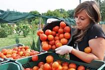 Sezona rajčat.