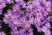 Mezi nefalšované královny podzimu patří astry. K vidění jsou v teplické botanické zahradě.