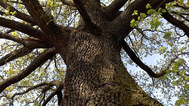 V Krupce roste strom přihlášený do letošní ankety Strom roku