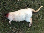 Chovateli brutálně zabili dva klokany. Jednomu uřízli hlavu.