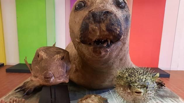 Kurátor zoologických sbírek teplického muzea Míra Žemlička vás vezme k moři i přes současná omezení cestovat.  Právě vybírá zajímavosti z depozitáře na výstavu s názvem Pod mořem,  nad mořem, která by měla být otevřena v březnu.