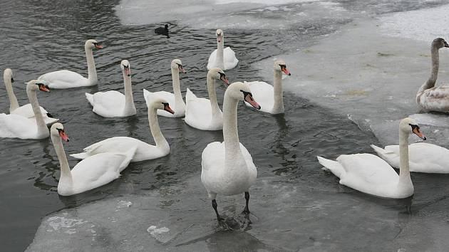 Ilustrační foto: Labutě v zimě.