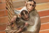 Opičí maminka se svým miminkem
