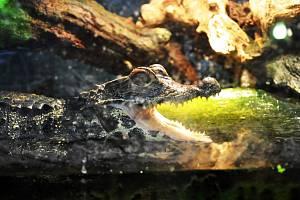 Krokodýl v bioparku Gymnázia Teplice.