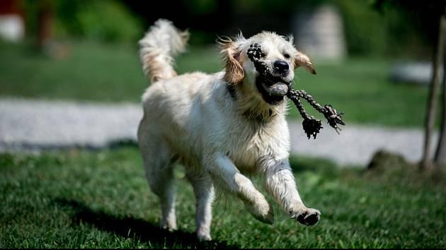 Pes. Ilustrační snímek.
