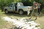 V kafilérii skončily metrové kusy candátů z rybníku v Modlanech, 2010.