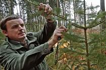Lesníci chrání smrčky a borovičky prořezem větví či postřikem, který smrdí jako žumpa