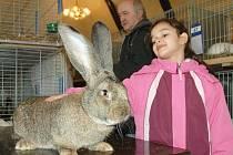 Výstava králíků a drůbeže v Žalanech/ilustrační foto