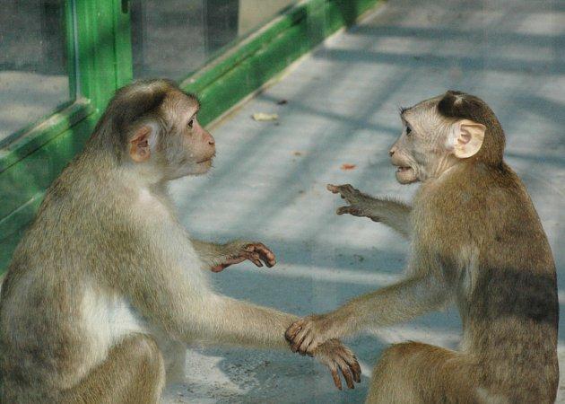 Opičky v Zámecké zahradě