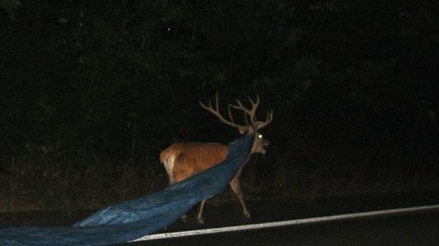 Statný jelen strašil řidiče