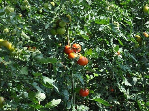 Rajčata do Mikuláše, hvězdy na Vánoce