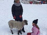 Ovce na Bouřňáku.