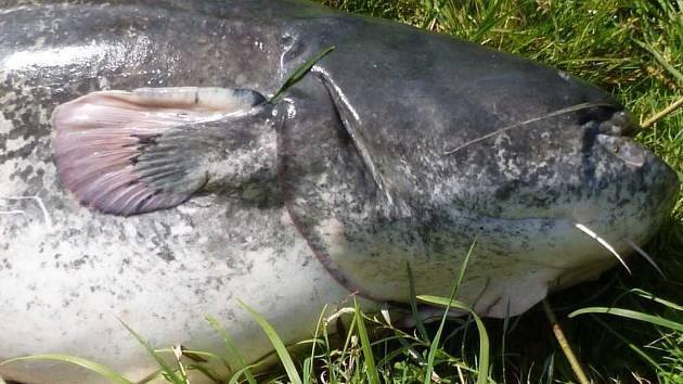 Na Modlanské nádrži uhynuly ryby, včetně velkých sumců