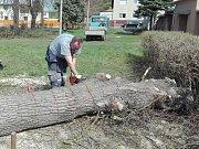 Dva stromy v Zabrušanech na Teplicku padly v neděli  odpoledne k zemi. Důvodem byla jejich narušená stabilita.