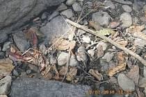 Uhynulé kusy raka kamenáče.