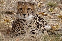 Gepard královský v rezervaci Shingwedzi v J.A.R.