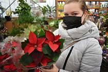 Vánoční hvězda patří k adventu. K mání jsou tyto symboly Vánoc i v duchcovských sklenících.