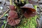 V lesích na Ústecku roste i v zimních měsících houba Jidášovo ucho.