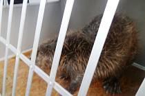 Poraněného bobra odchytli u nádraží