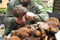 Stovku hřibů našel v těchto dnech při procházce v lese Martin Nosko z Oseka(na velkém snímku).