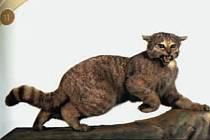 Poslední kočka divoká v Krušných horách byla zastřelena v oseckém Salesiově revíru koncem března 1895.
