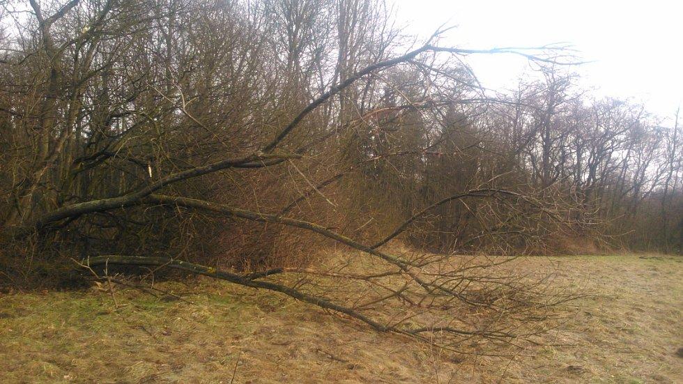 Silný vítr na Teplicku páchá škody. Spadlý strom v Proboštově.