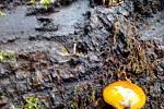 Penízovka sametonohá roste pouze v zimě. Nález je z Panského lesa v Proboštově na Teplicku.