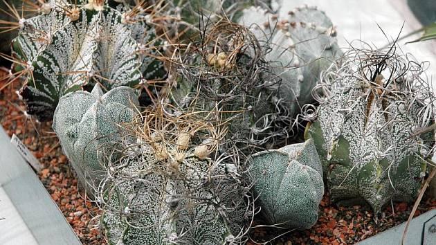 Výstava kaktusů v Krupce