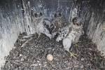 Sokolí trojčata v umělém hnízdě na komínu sklárny  AGC Flat Glass v Teplicích