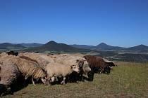 Volná pastva ovcí na vrchu Radobýl.