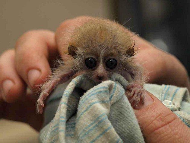 V děčínské zoo se narodila dvojčata vzácných nočních poloopiček outloňů malých.