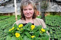 Zahradnice Helena sklízí primule zahradní.