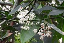 V teplické botanické zahradě rozkvetl kolovník.