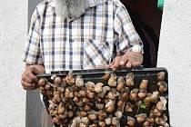Arnošt Olah z Jeníkova na Teplicku sbírá a následně prodává šneky